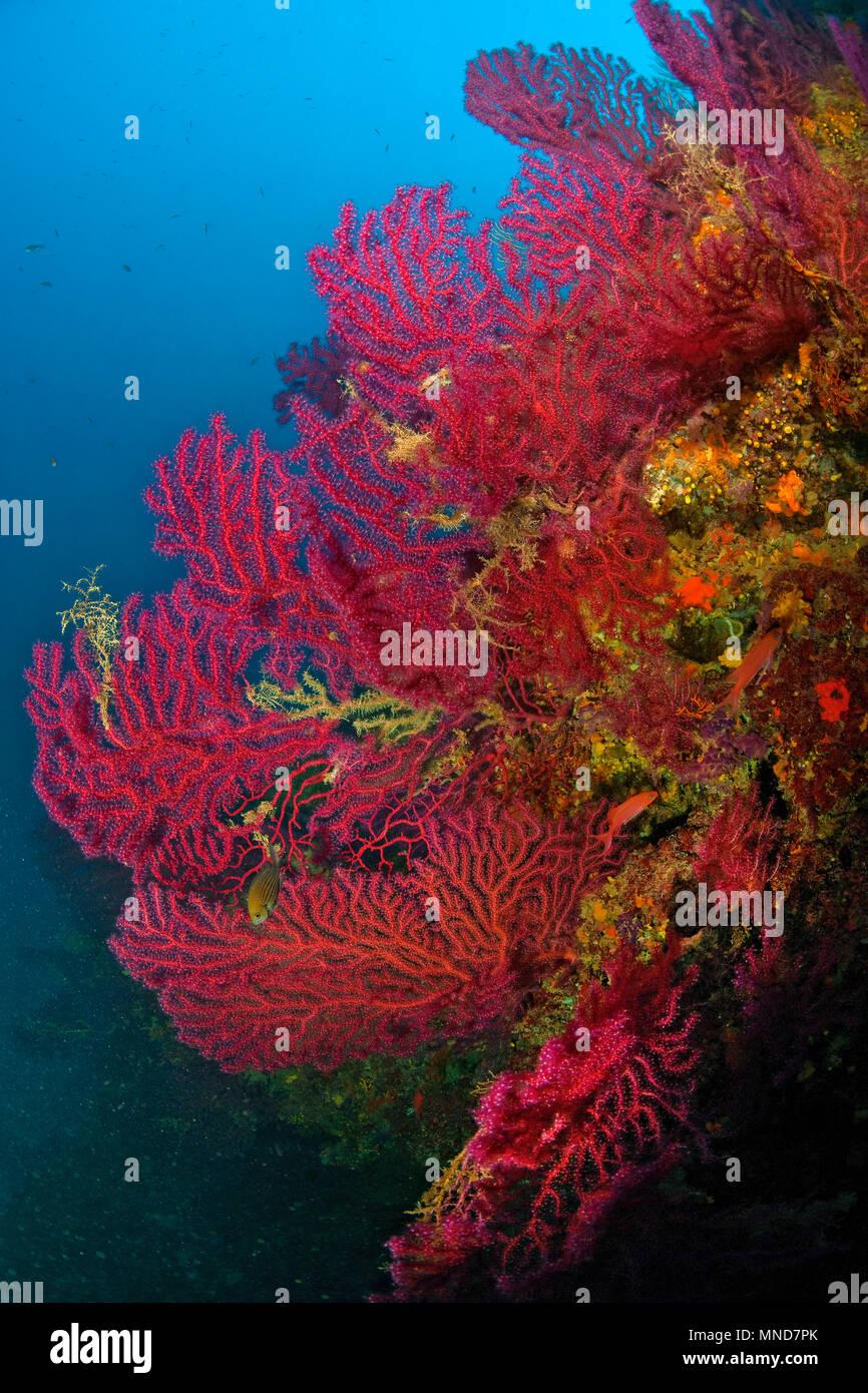 Red fan coral in the Mediterranean |Rote Fächerkoralle im Mittelmeer | (Paramunicea clavata) - Stock Image