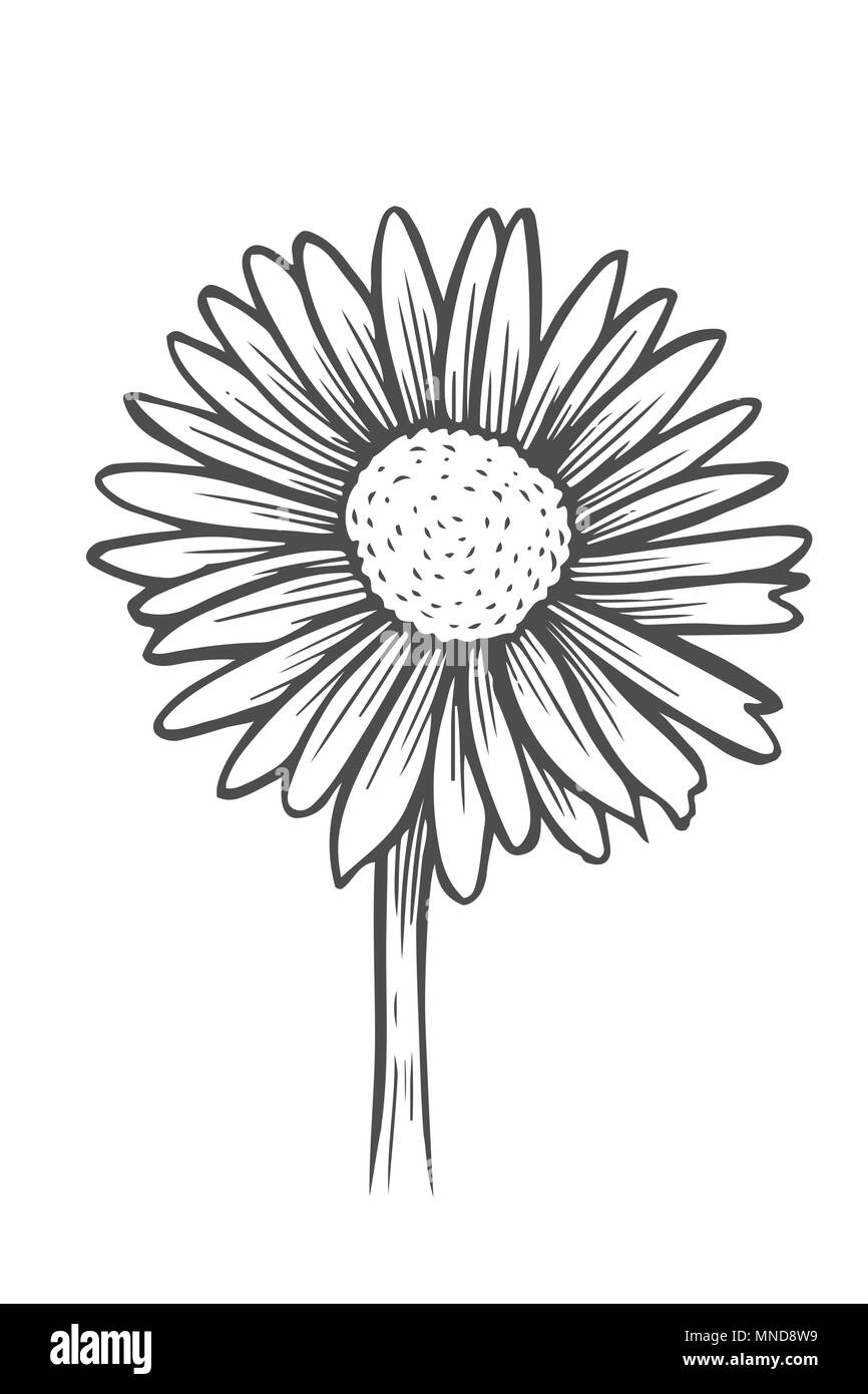 Beautiful monochrome black and white daisy flower isolated for greeting cards and invitations of the wedding birthday valentines day mothers da