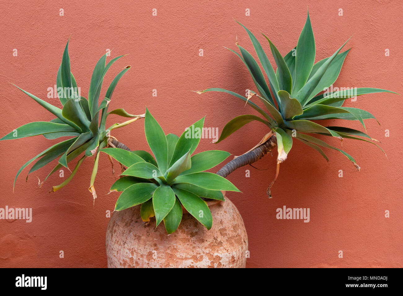 Terracotta pot with broad leaved Agave attenuata plant against the terracotta painted wall of a house in La Gomera Canary Islands - Stock Image
