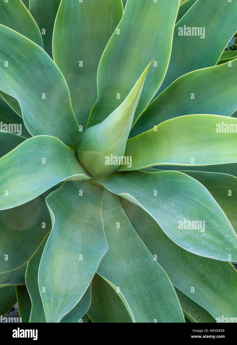 Broad leaved Agave attenuata plant in the garden of a house in La Gomera in the Canary Islands - Stock Image