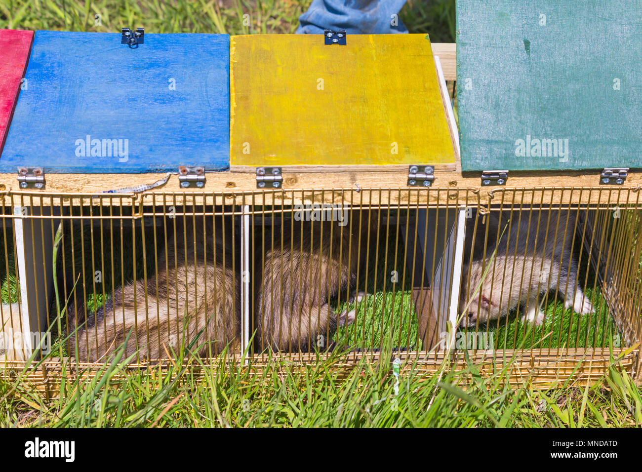 Ferrets in cages ready for ferret racing at Hampshire Game