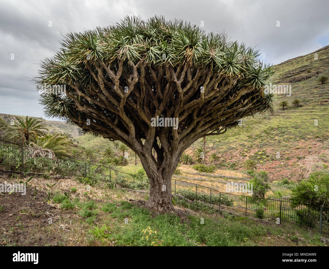 Ancient and revered Dragon Tree Dracena drago at Agalan on La Gomera in the Canary Islands - Stock Image