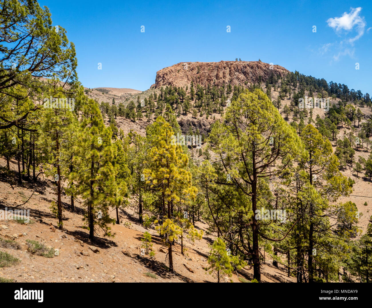 Sparse forest of Canary pines part of the Corona Forestal around the outer crater rim of Mount Teide on Tenerife in the Canary Islands - Stock Image
