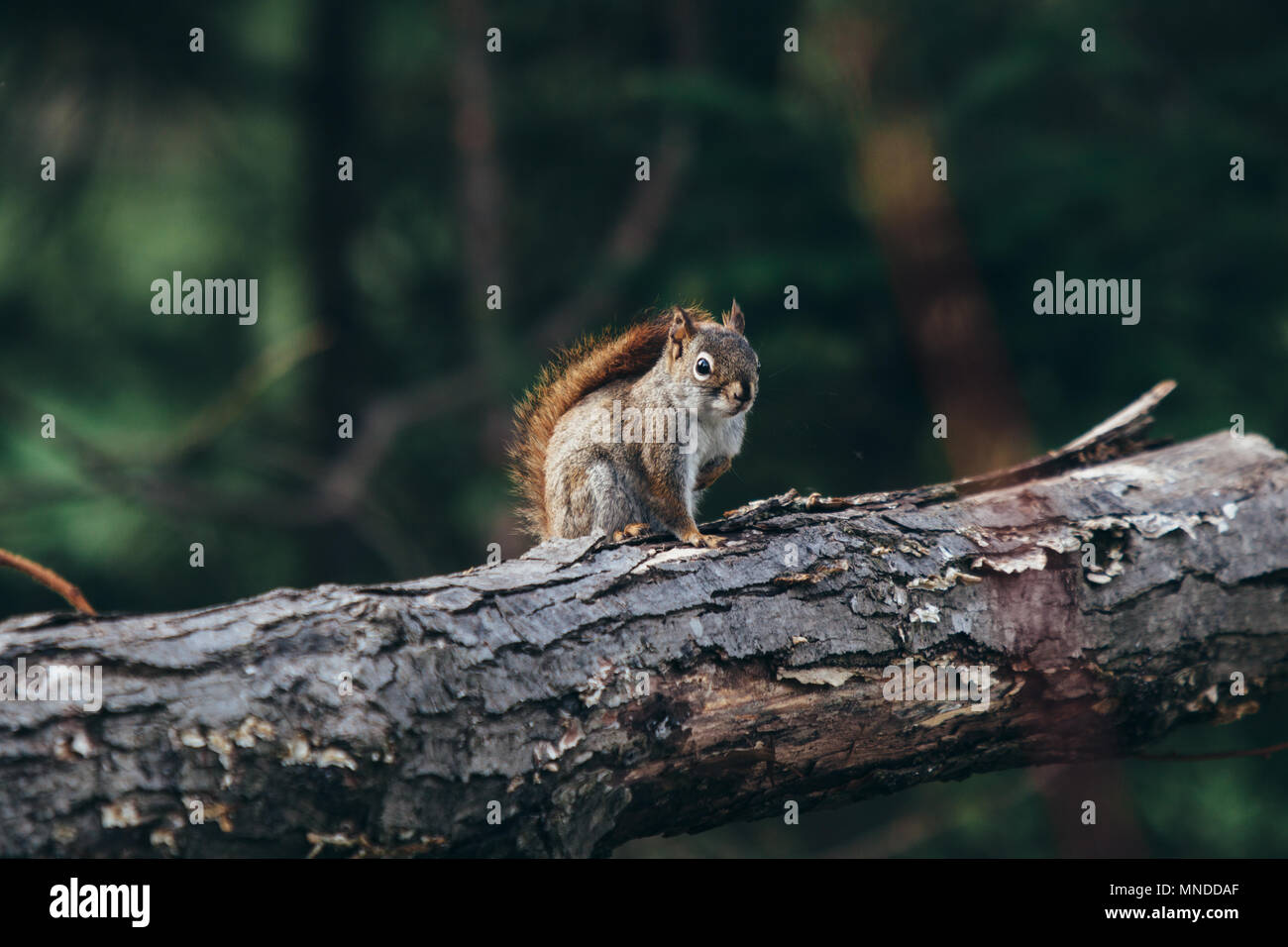 Red squirrel on a tree log Stock Photo