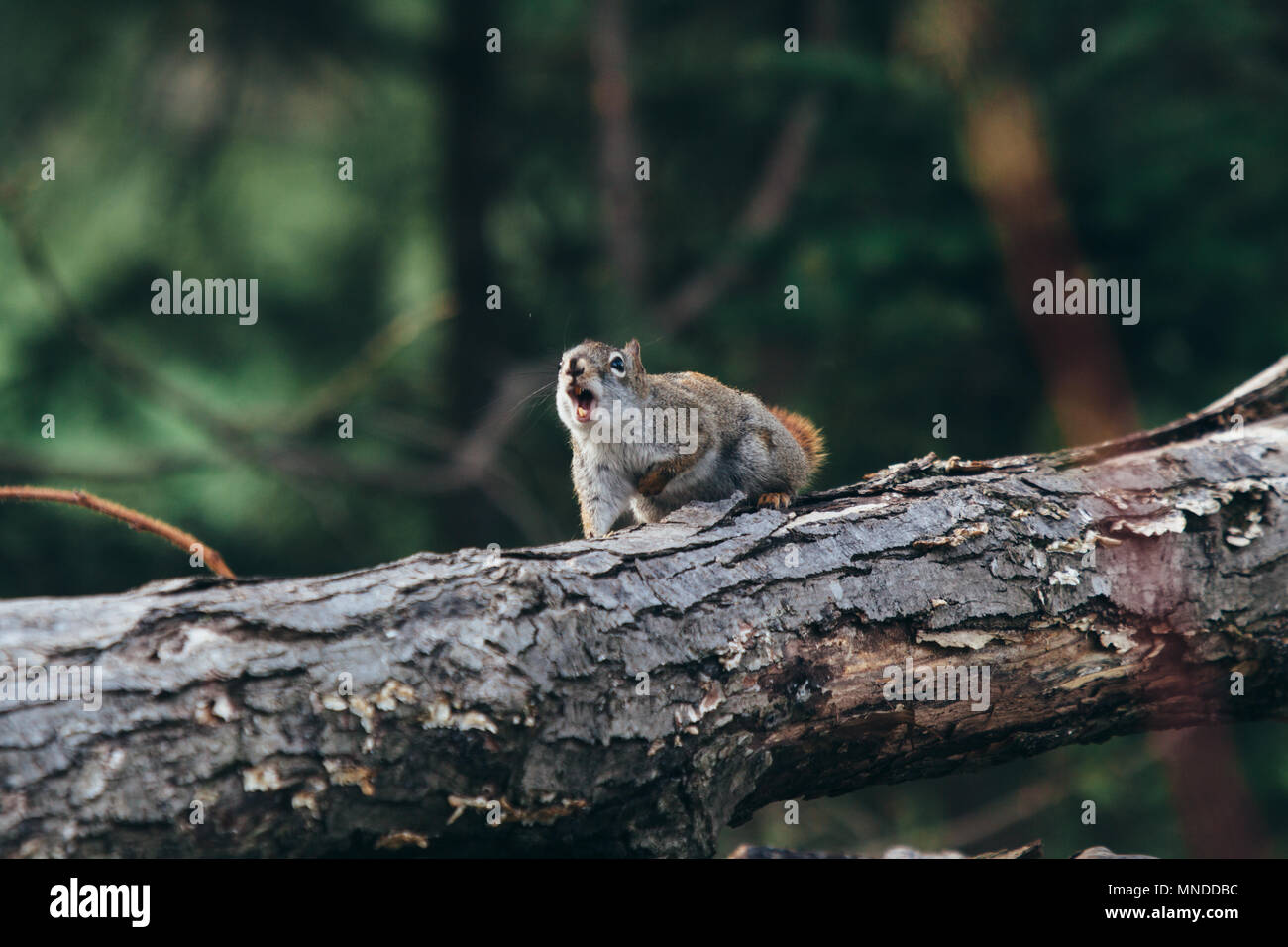 Red squirrel on a tree log - Stock Image