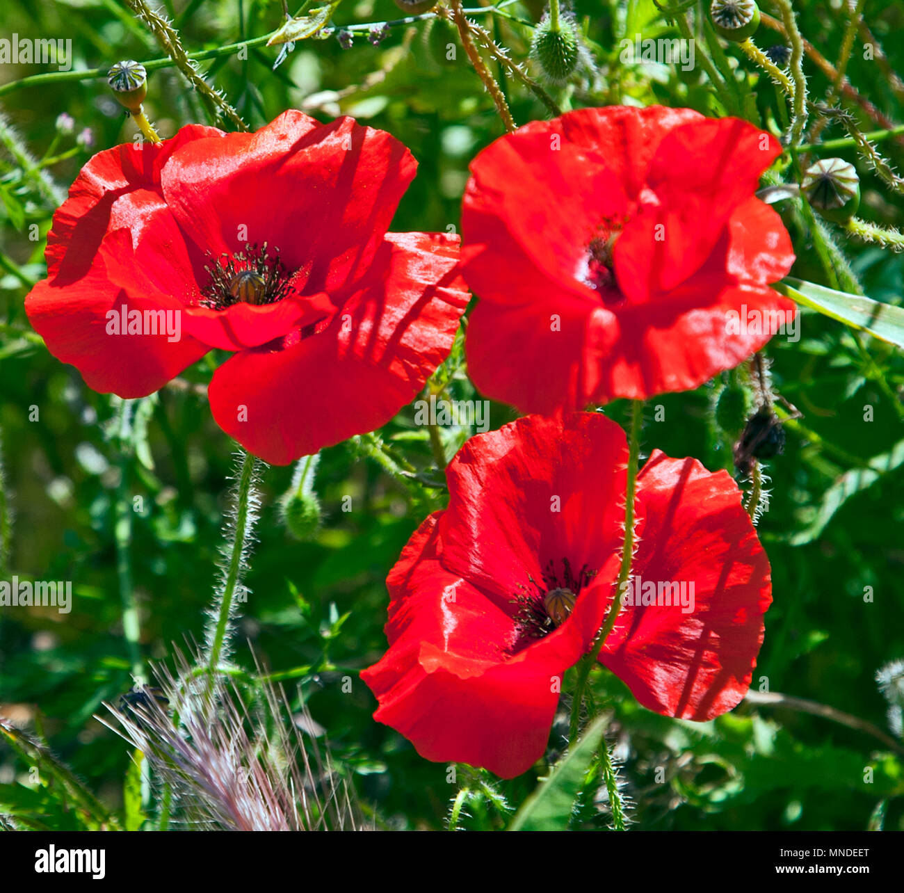 Beautiful Red Poppy Flowers Growing Outside In A Green Area Stock
