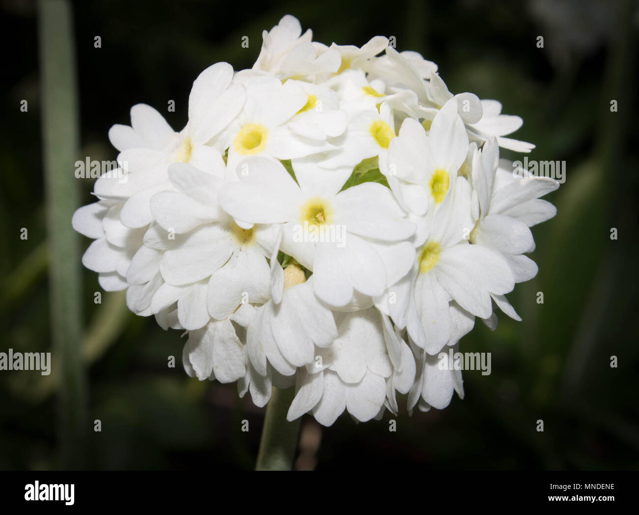 Small white flowers with a yellow middle grow in a ball stock photo small white flowers with a yellow middle grow in a ball mightylinksfo