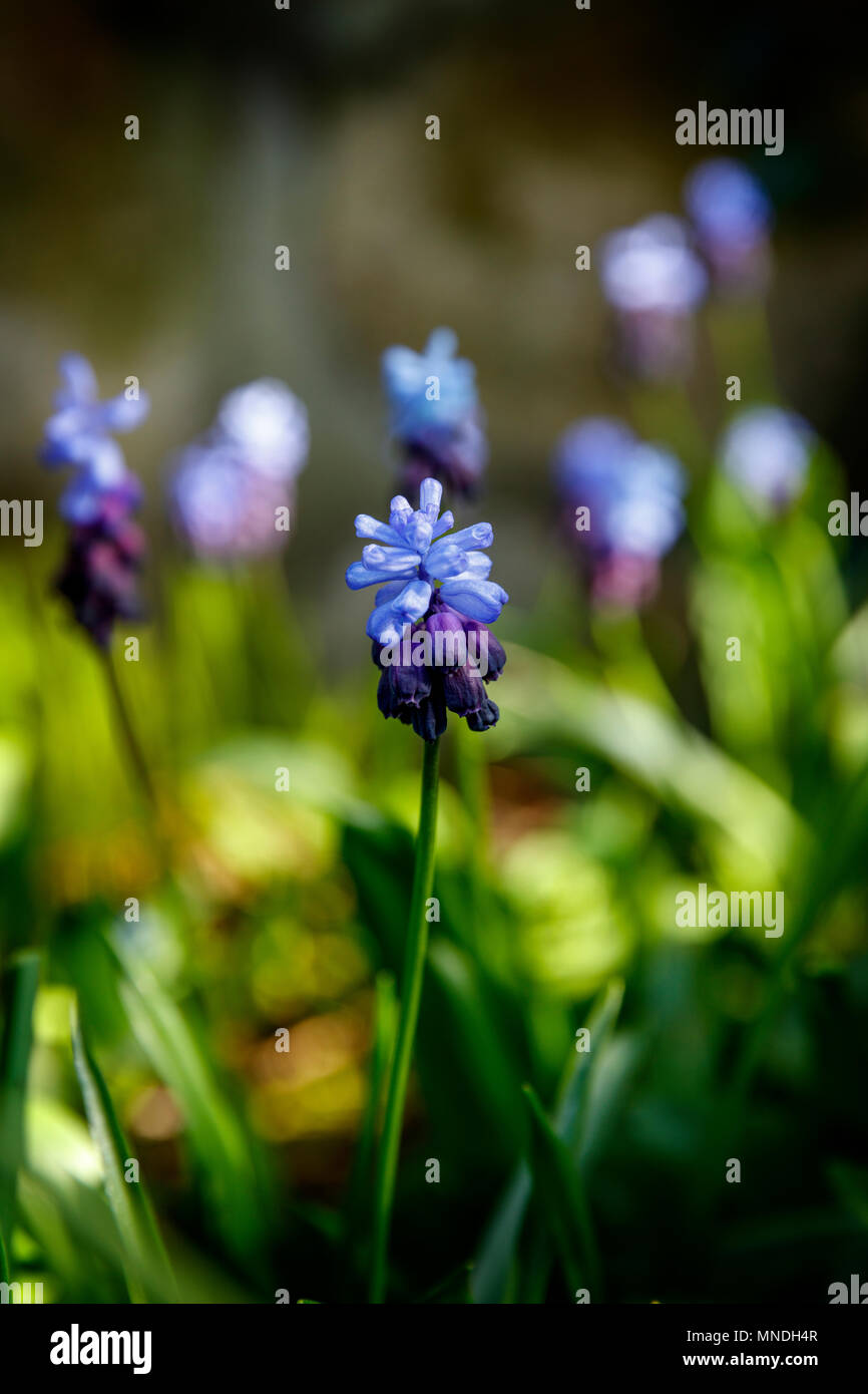 Two-Tone Grape Hyacinths, in a lush green garden setting. - Stock Image