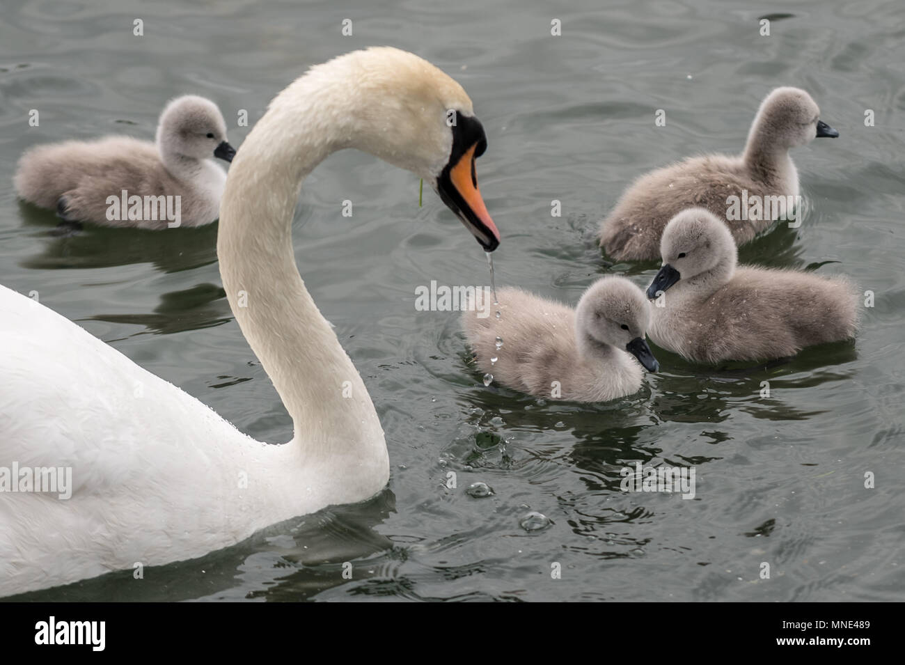 London, UK. 16th May, 2018. Newly hatched mute swan cygnet take a swim with their mother on Canada Water pond © Guy Corbishley/Alamy Live News - Stock Image