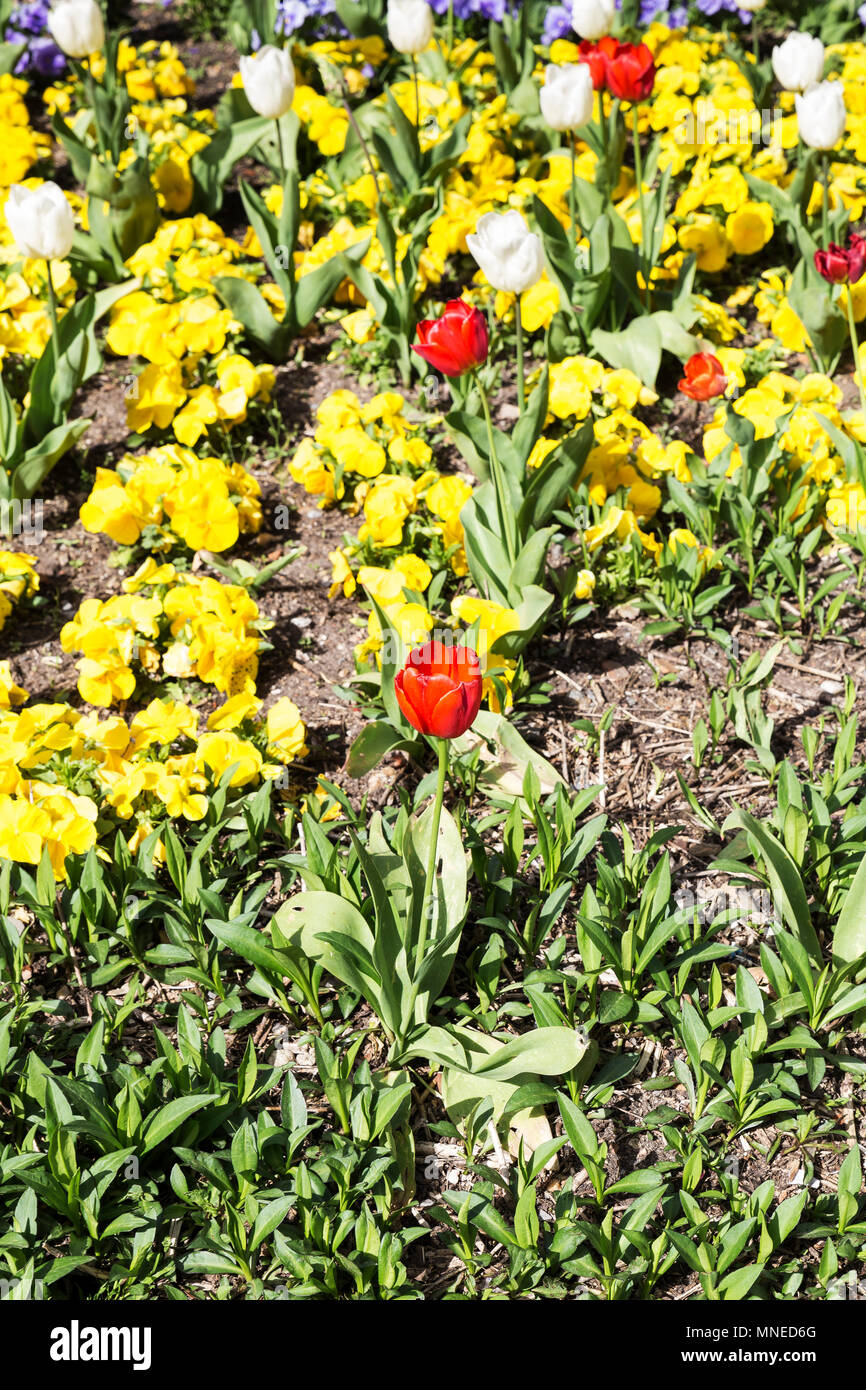gardin flowered with different flowers of tulips and pansies of colors - Stock Image