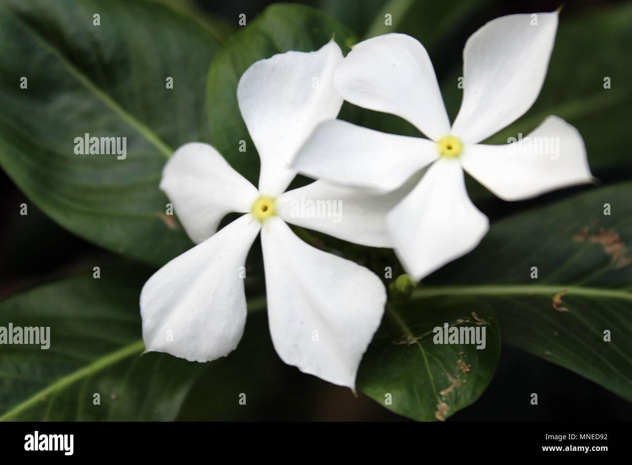 Delicate White Flowers Stock Photo 185329230 Alamy