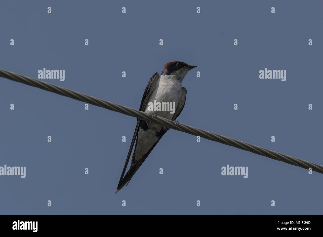 The swallows and martins, or Hirundinidae, are a family of passerine birds. - Stock Image