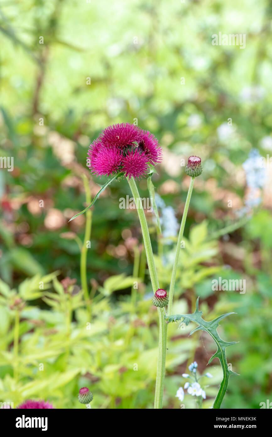 Cirsium rivulare 'atropurpureum'. Plume thistle 'Atropurpureum' / Brook Thistle - Stock Image