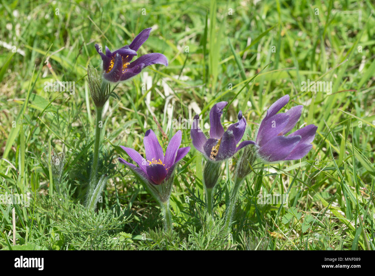 Pasqueflowers (Pulsatilla vulgaris), a vulnerable priority species, on chalk downland at Hartslock Nature Reserve in South Oxfordshire, UK - Stock Image