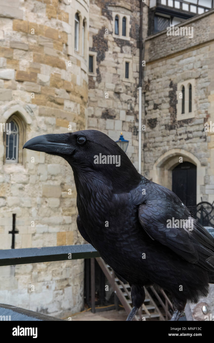 a big black raven of the corvids family sitting on the railings outside of the tower of london with the stonework of the tower walls as a backdrop. - Stock Image