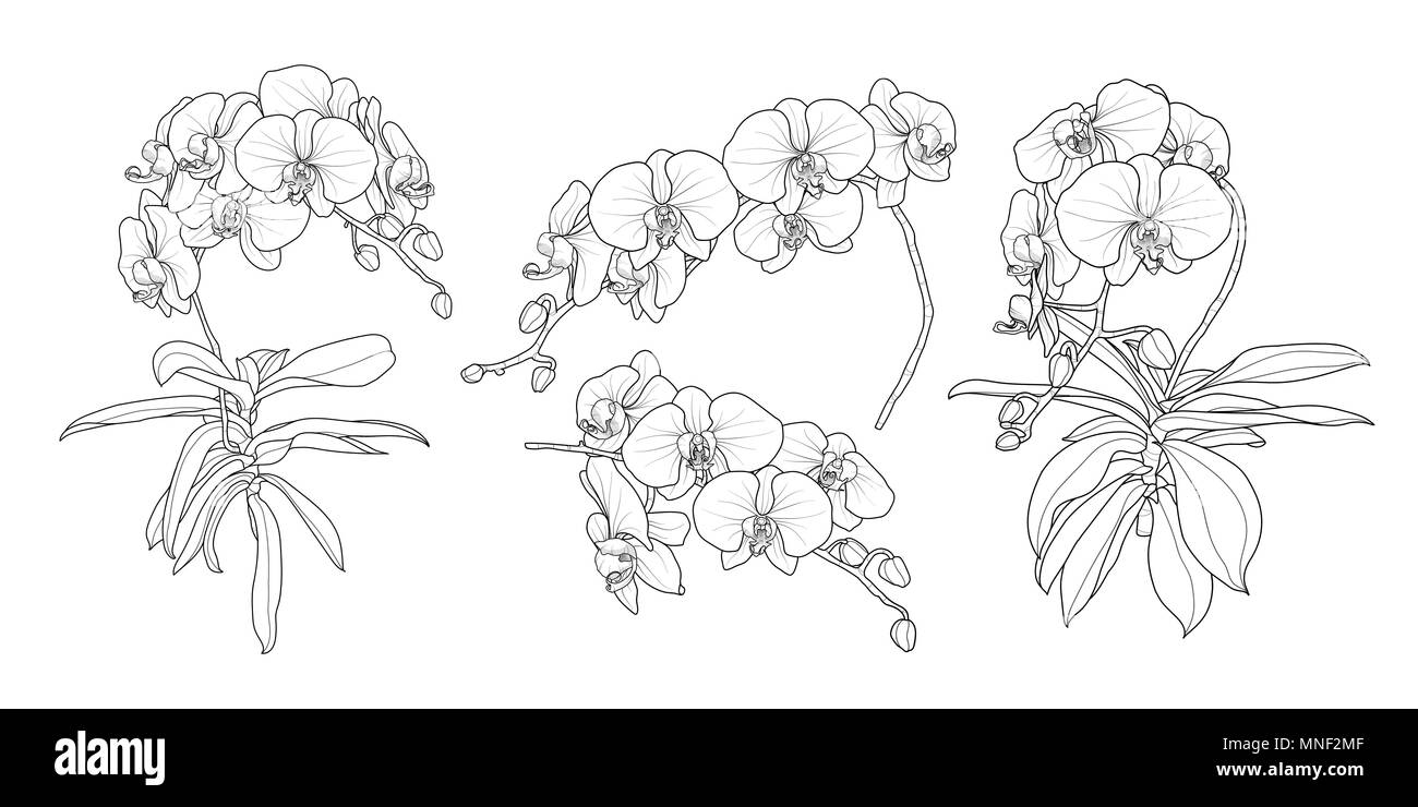 Set of isolated orchid branch in 4 styles set 1. Cute hand drawn flower vector illustration in black outline and white plane on white background. - Stock Image
