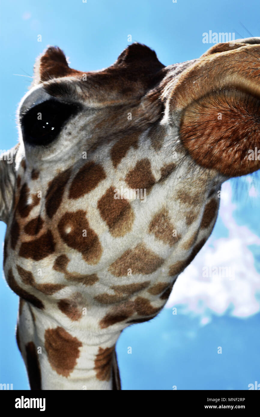 Giraffe Above - Stock Image
