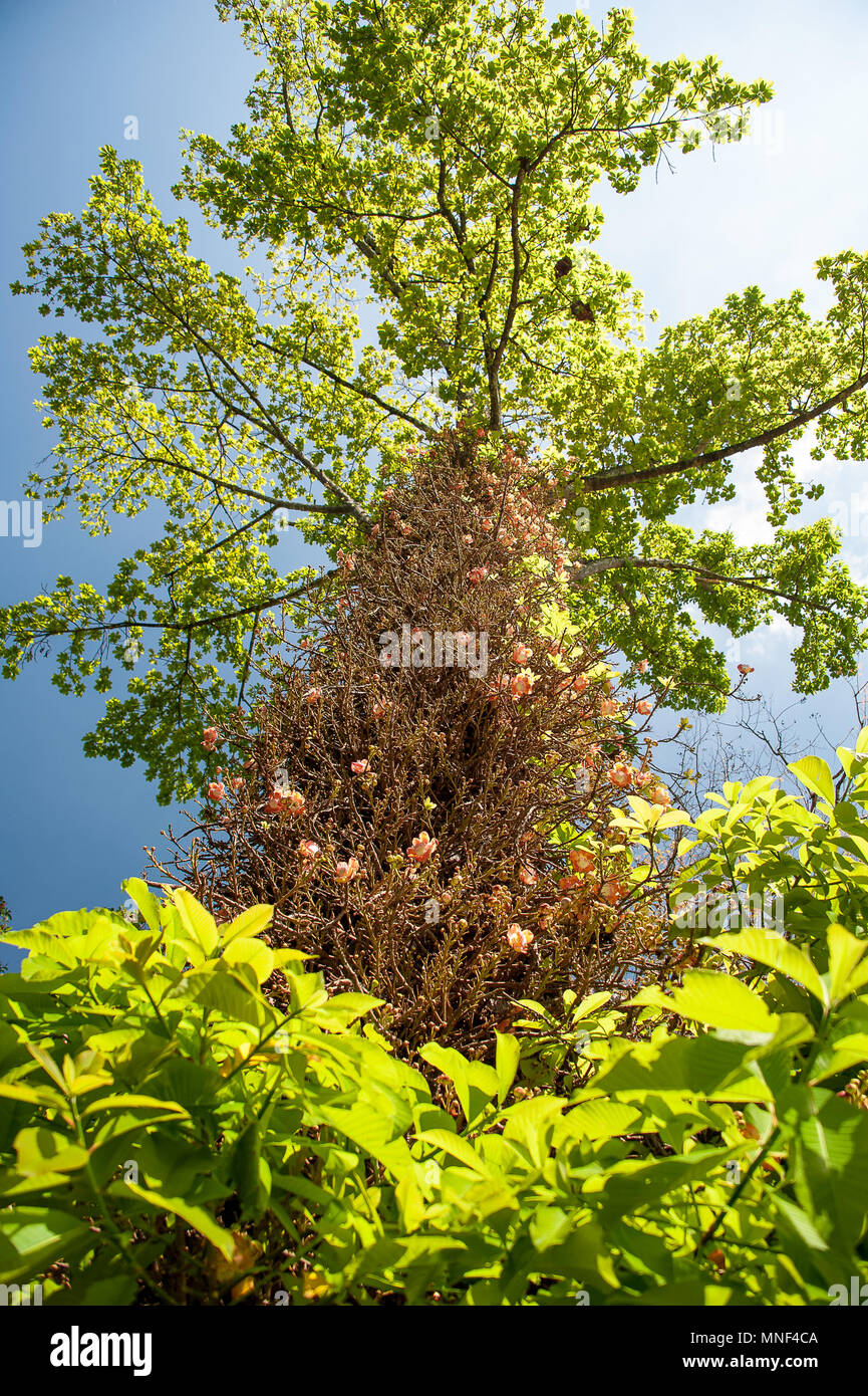 Cannon ball tree couroupita guianensis in flower clusters of cannon ball tree couroupita guianensis in flower clusters of delicate pink flowers grow from the trunk contrasting with backlit green leaves mightylinksfo