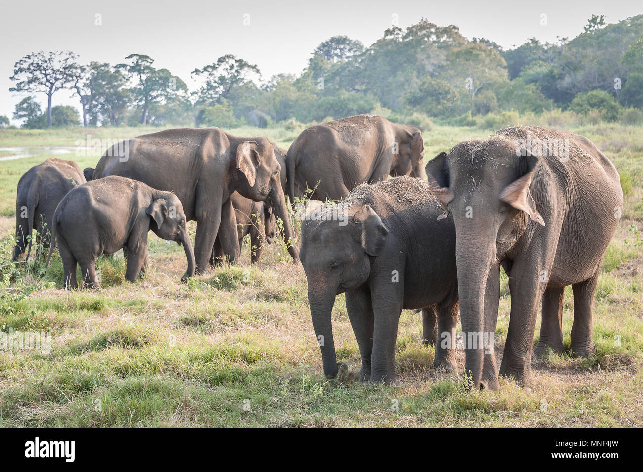 Herd of Indian elephants (Elephas maximus) graze on grassland in Minerriya National Park, Sri Lanka. Peaceful sunset scene in a green landscape - Stock Image