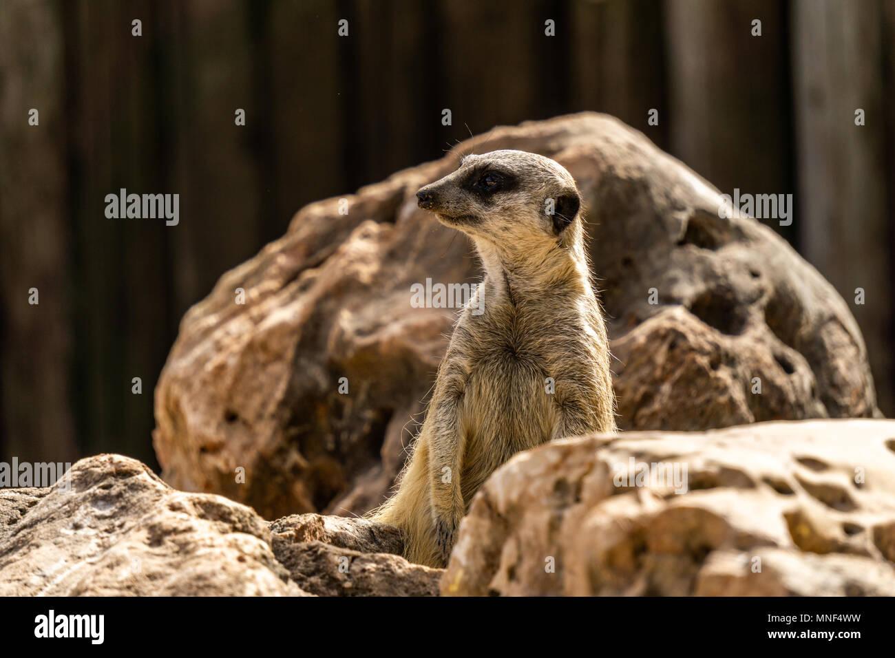 Slender-tailed meerkat Suricata on look out for danger. - Stock Image