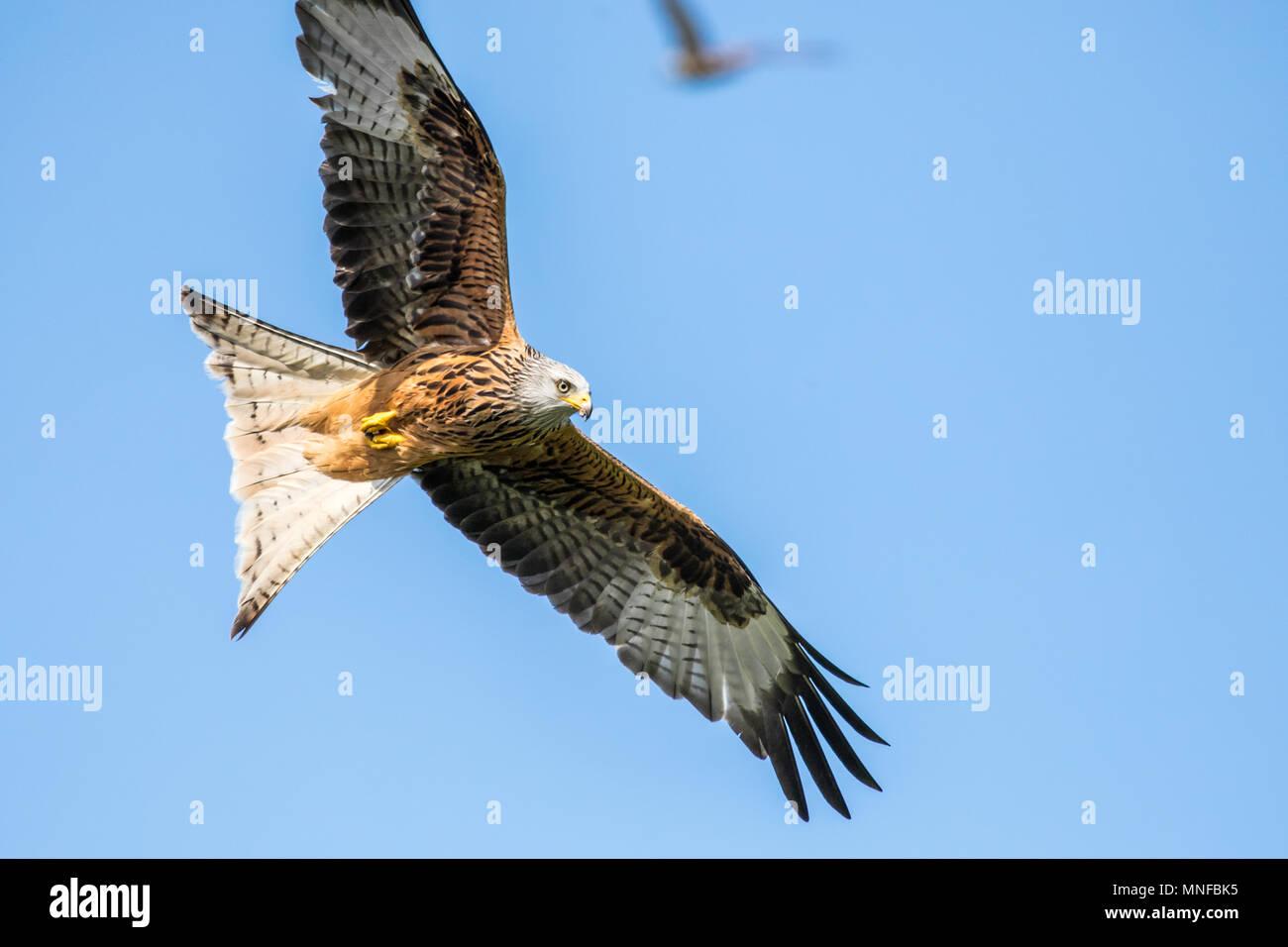 Flying Red Kite Stock Photo