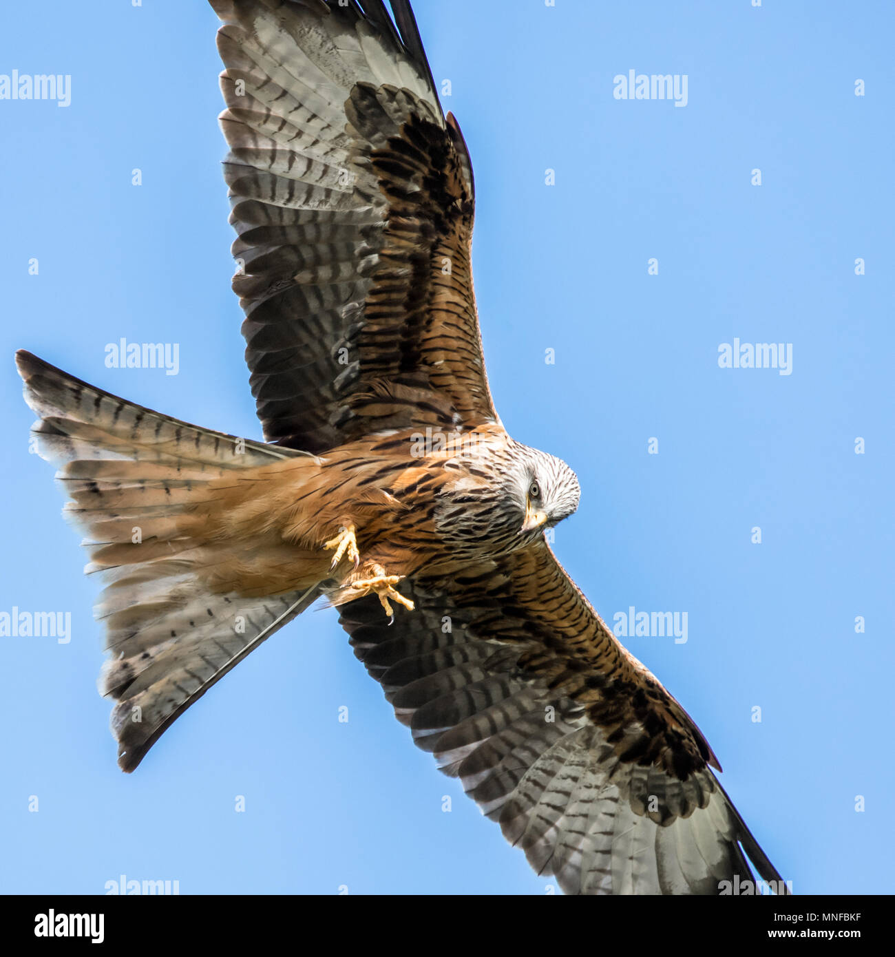 Flying Red Kite Stock Photo
