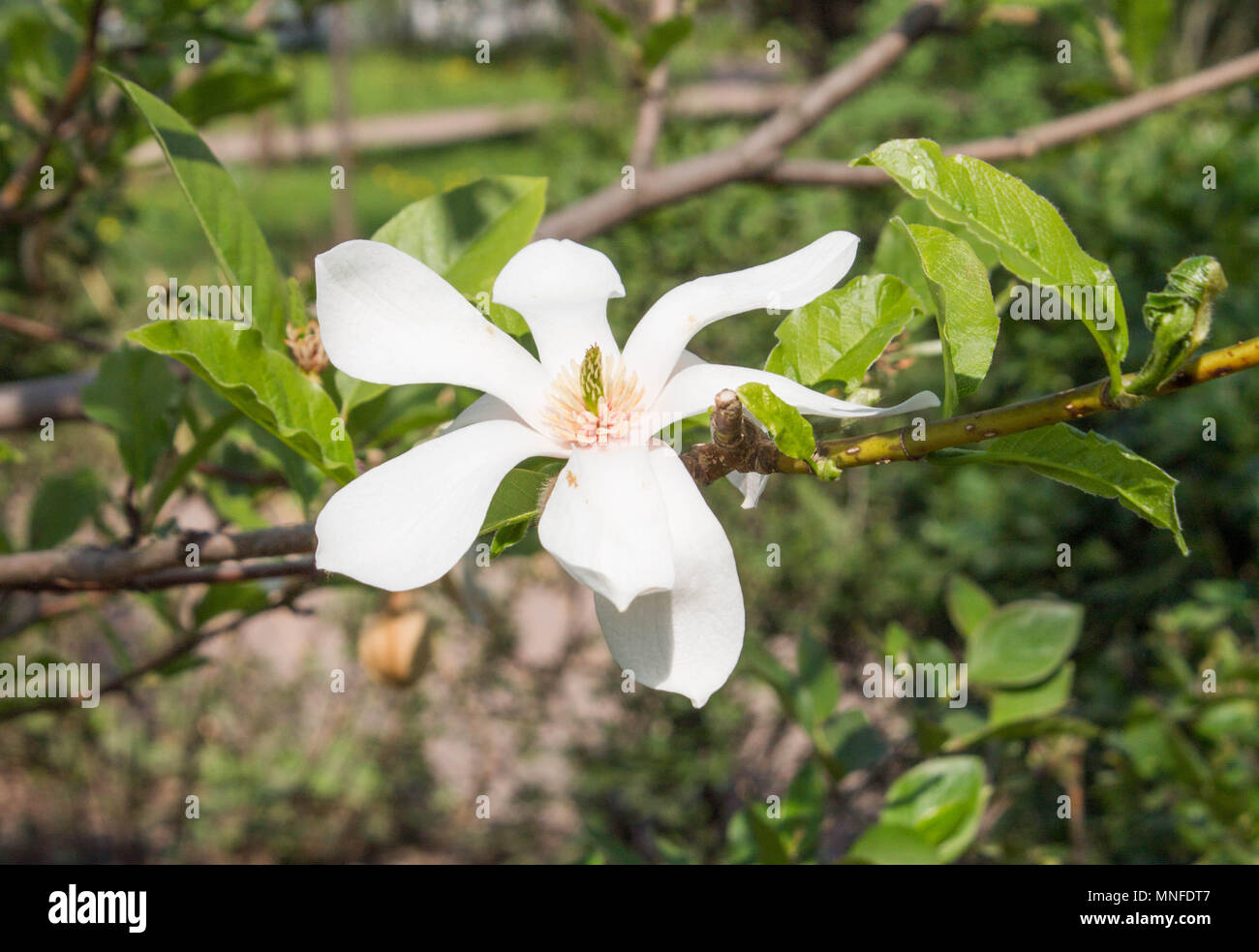 Magnolia White With Yellow Middle Flower Close Up Grows On A Tree
