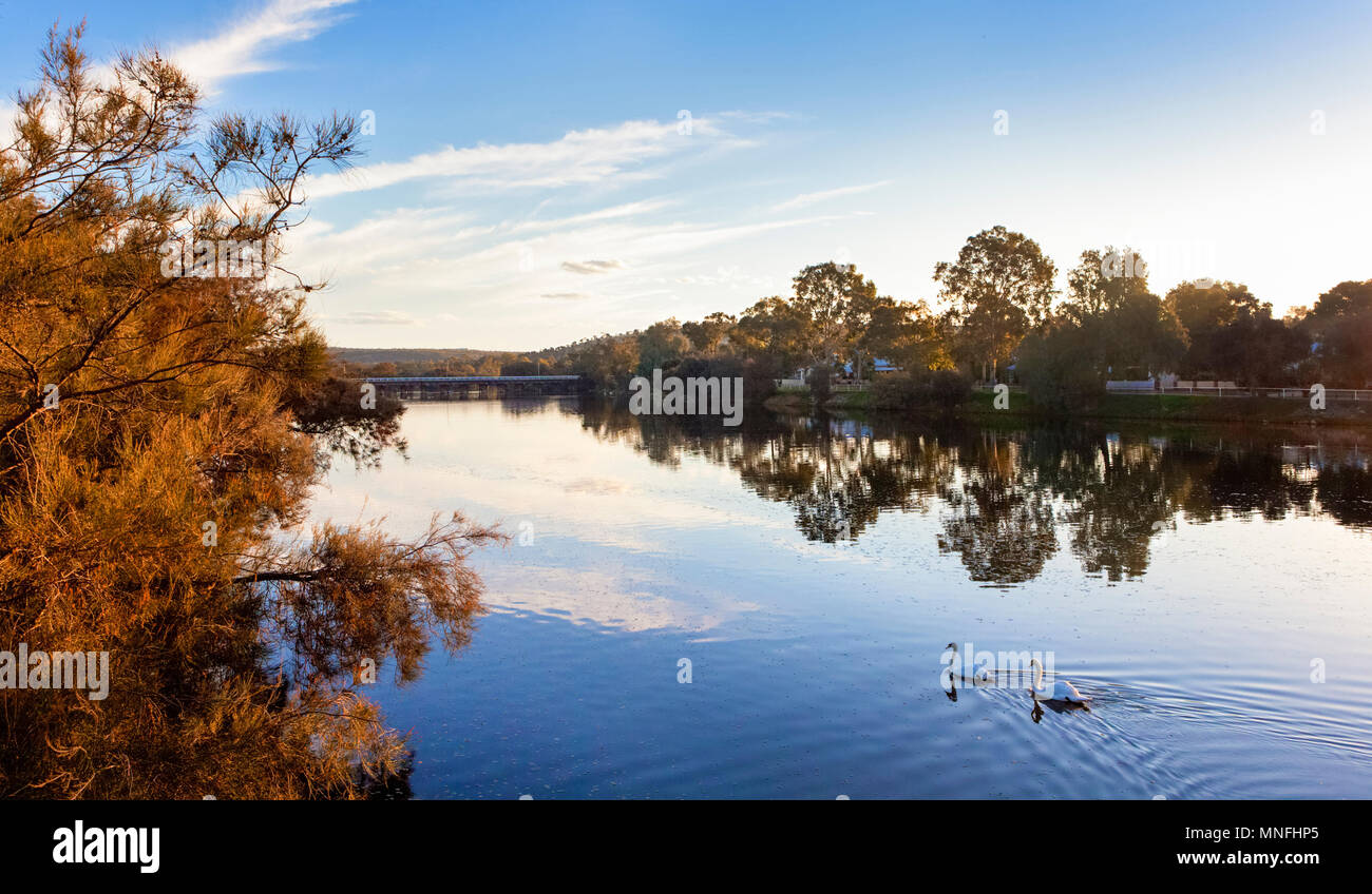 Introduced white Mute Swans (Cygnus olor) on the Avon River in Northam, Western Australia - Stock Image