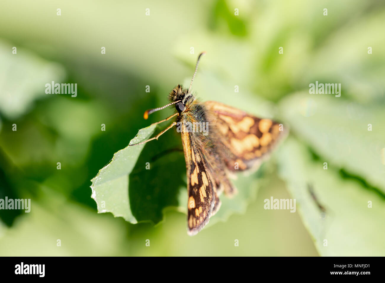 Skipper diurnal butterfly from Hesperiidae family close up macro portrait. Horizontal shot with shallow depth of field Stock Photo