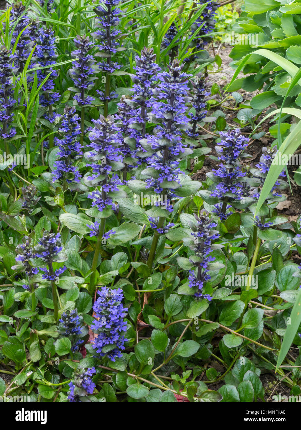A Patch Of Ajuga Reptans Catlins Giant Showing The Tall Blue Flower