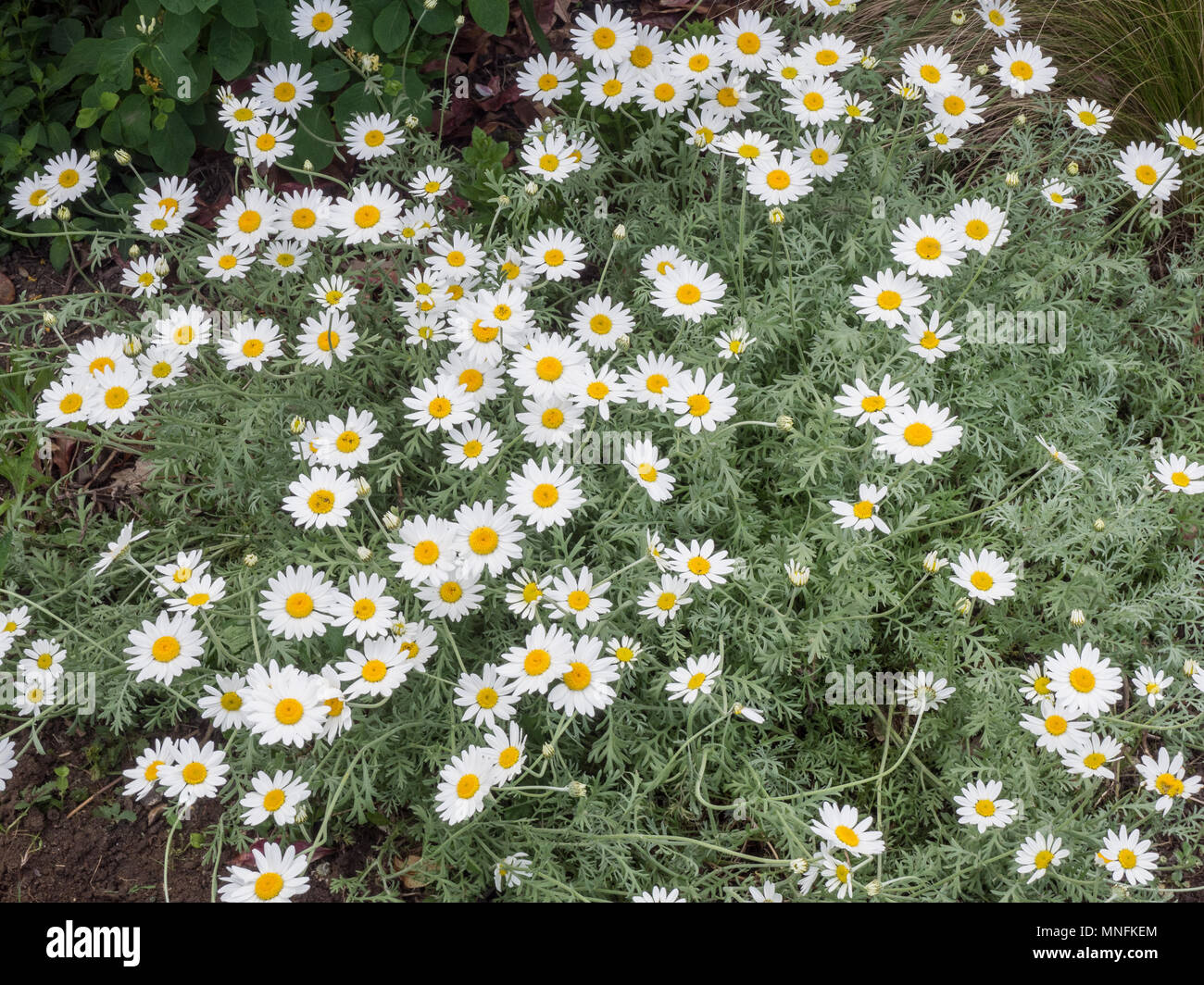 The white daisy flowers and silver foliage of Anthemis punctata cupaniana - Stock Image