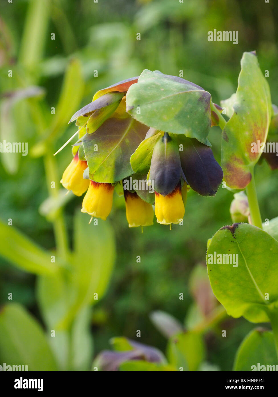 Close up of the yellow tipped flowers of Cerinthe major Yellow Gem - Stock Image