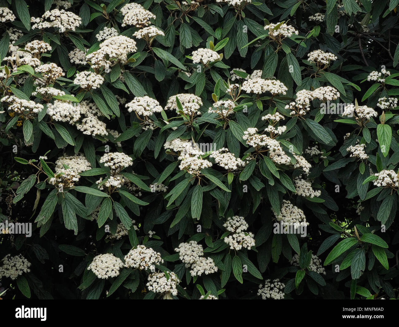 showing the white flowers and the deeply ribbed dark green foliage - Stock Image