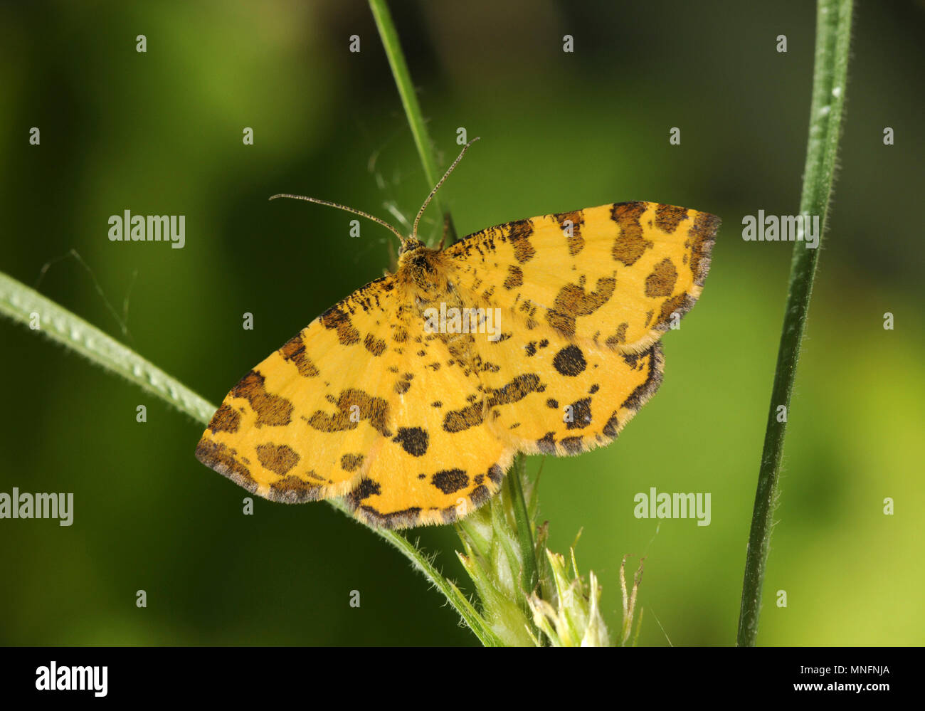 Speckled Yellow - Pseudopanthera macularia - Stock Image