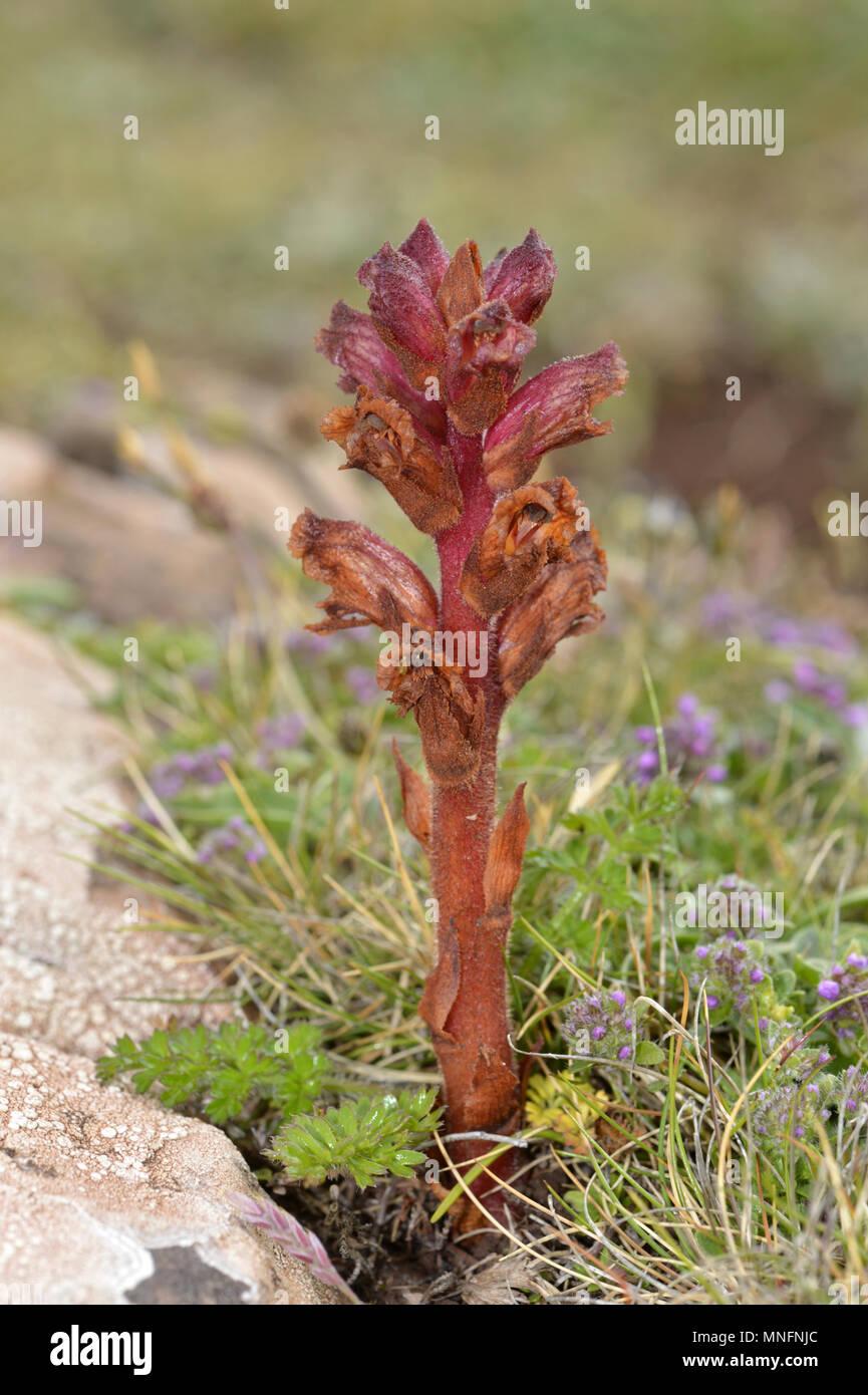 Thyme Broomrape - Orobanche alba - Stock Image