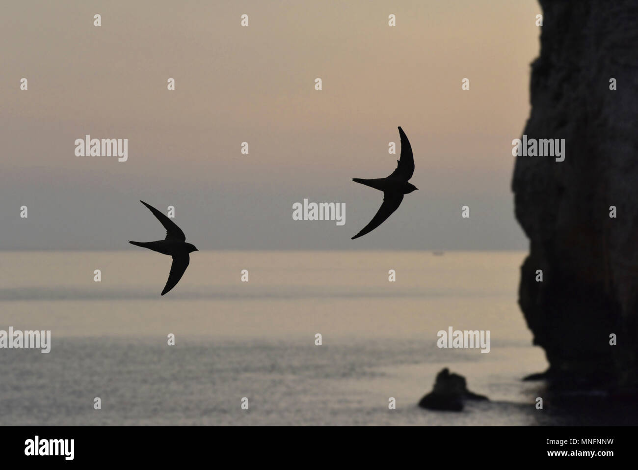 Alpine Swift - Apus melba - Stock Image