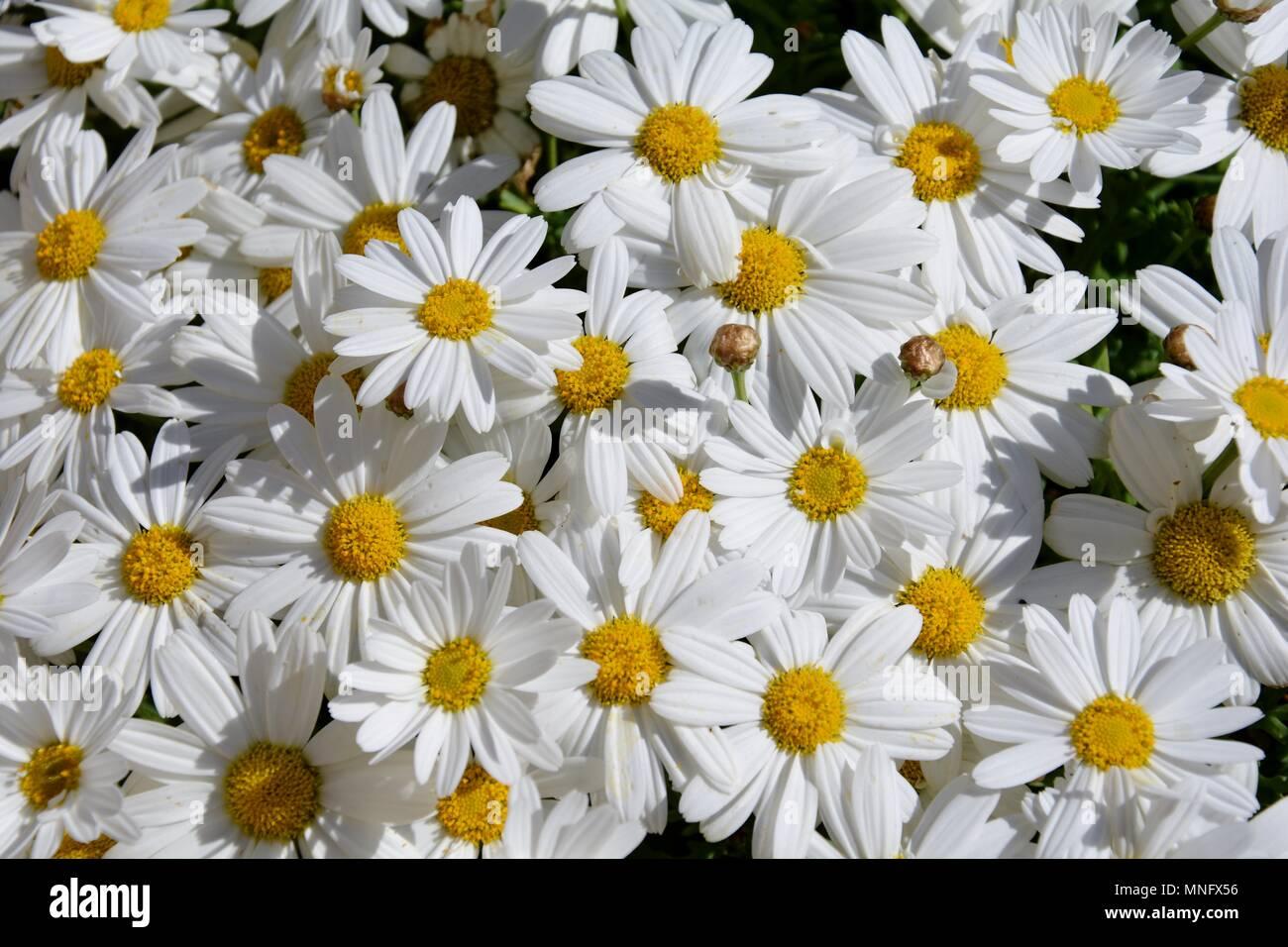 Field of daisies field flower flowers daisy daisies white field of daisies field flower flowers daisy daisies white yellow petals petal nature plant izmirmasajfo