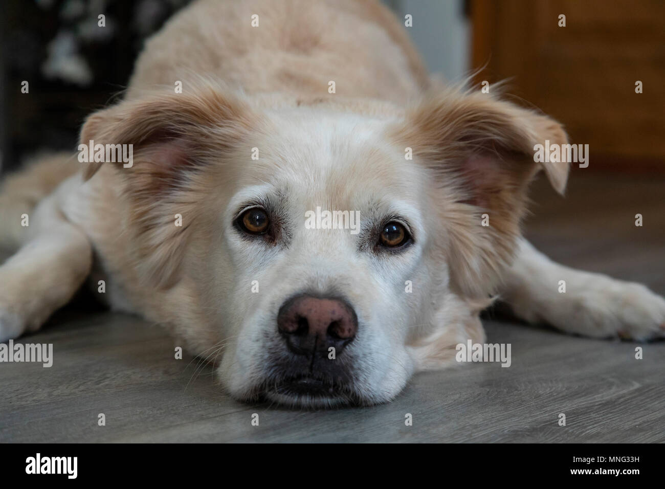 A resting dog, rescued from the pound. He is part Golden Retriever, part Lab, and maybe part German Shepherd. - Stock Image