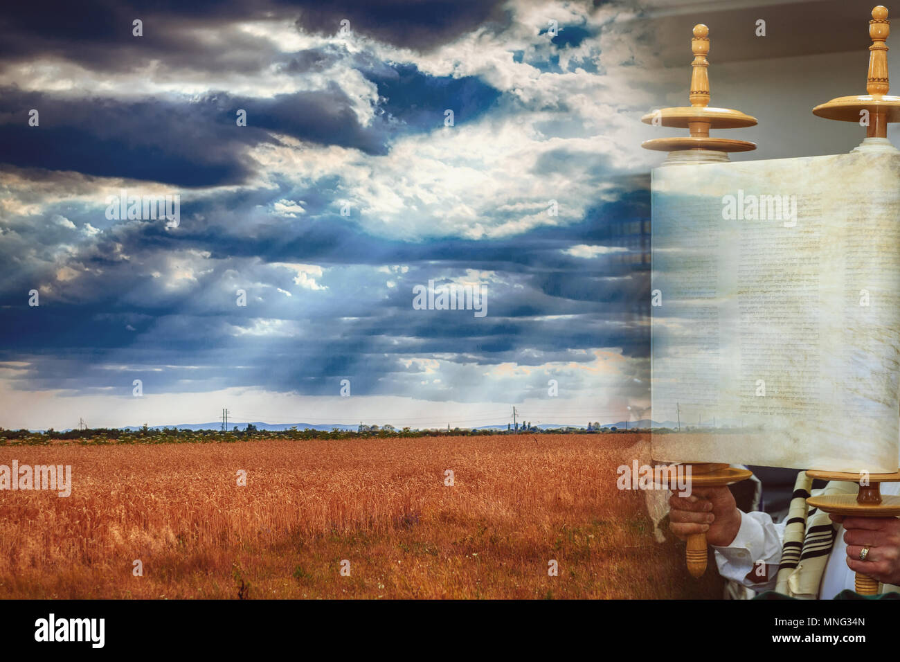 Torah scroll during the holy day of Shavuot Wheat field, wheat background - Stock Image
