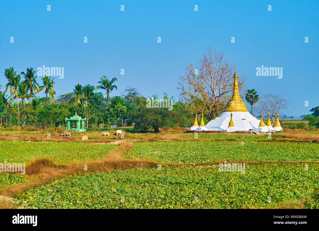 The rural landscape with green fields, covered with agricultural crops, grazing zebu and a view on scenic Buddhist temple, Bago Region, Myanmar. Stock Photo