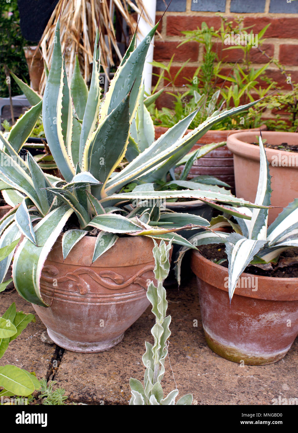Agave Cactus Agavaceae Growing In Pots Stock Photo 185371676