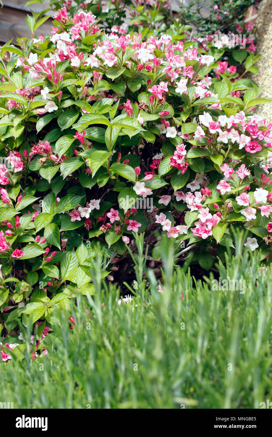 Weigela florida 'Bristol Ruby' shrub in flower - Stock Image