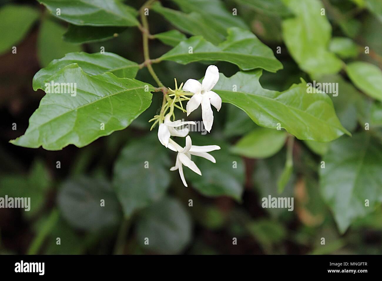 Delicate White Flowers Stock Photo 185375143 Alamy