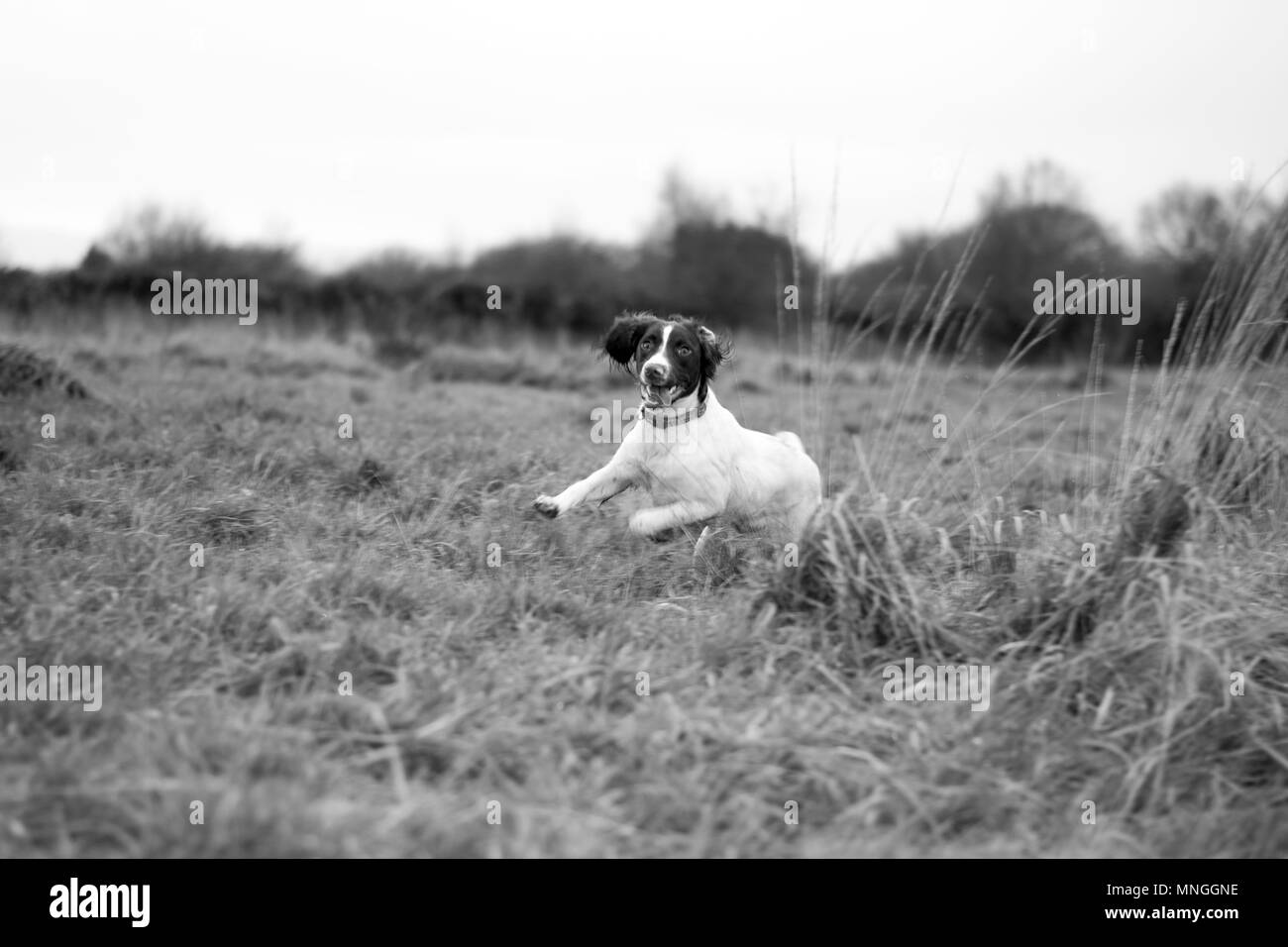 Dog running through a field - Stock Image