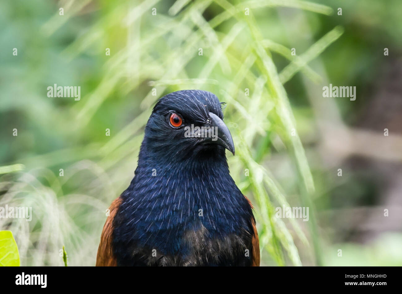 Coucals, Crow pheasants on tree. - Stock Image