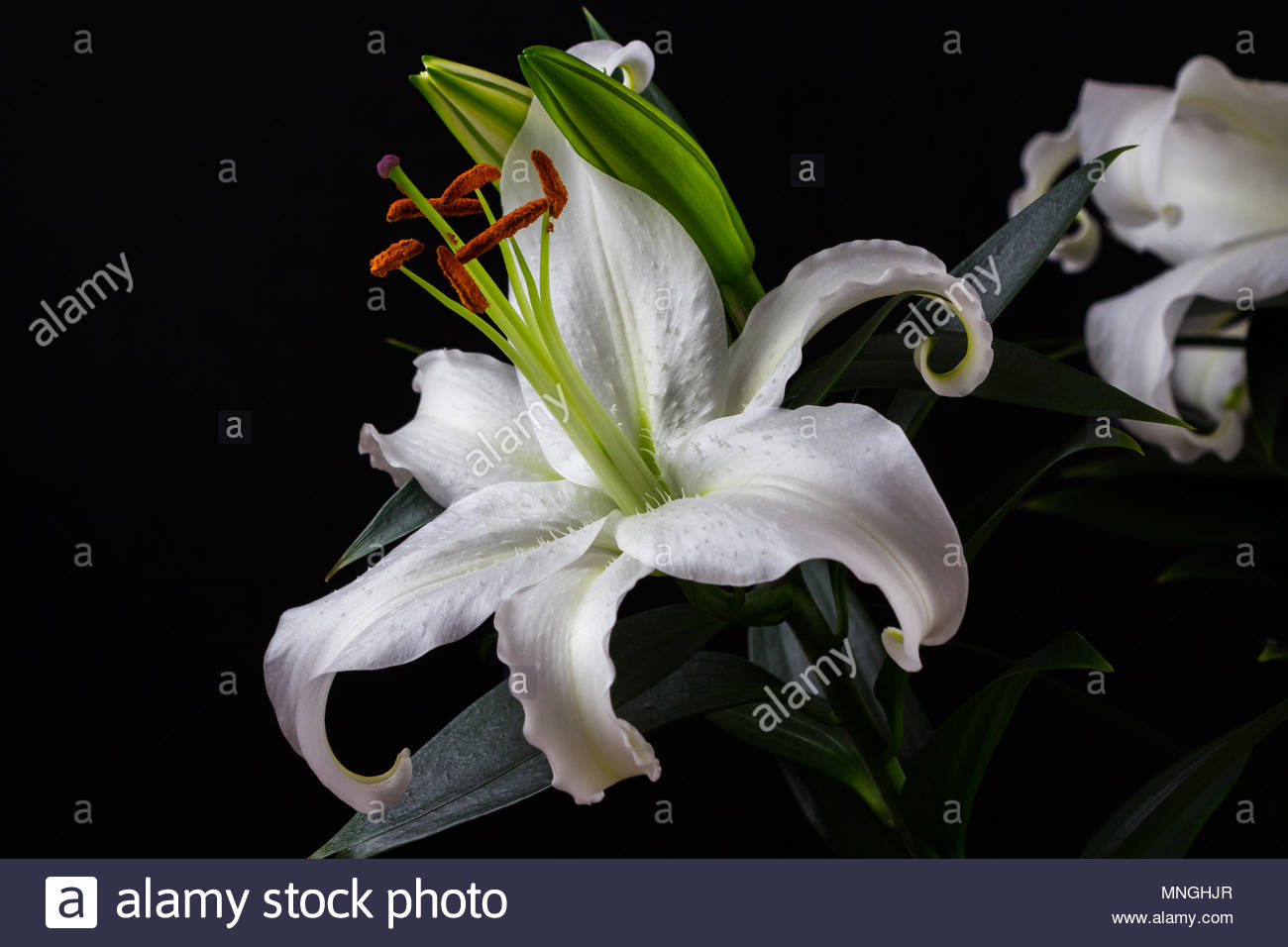 Close Up Of White Lily Flower Zen In The Art Of Flowers Macro