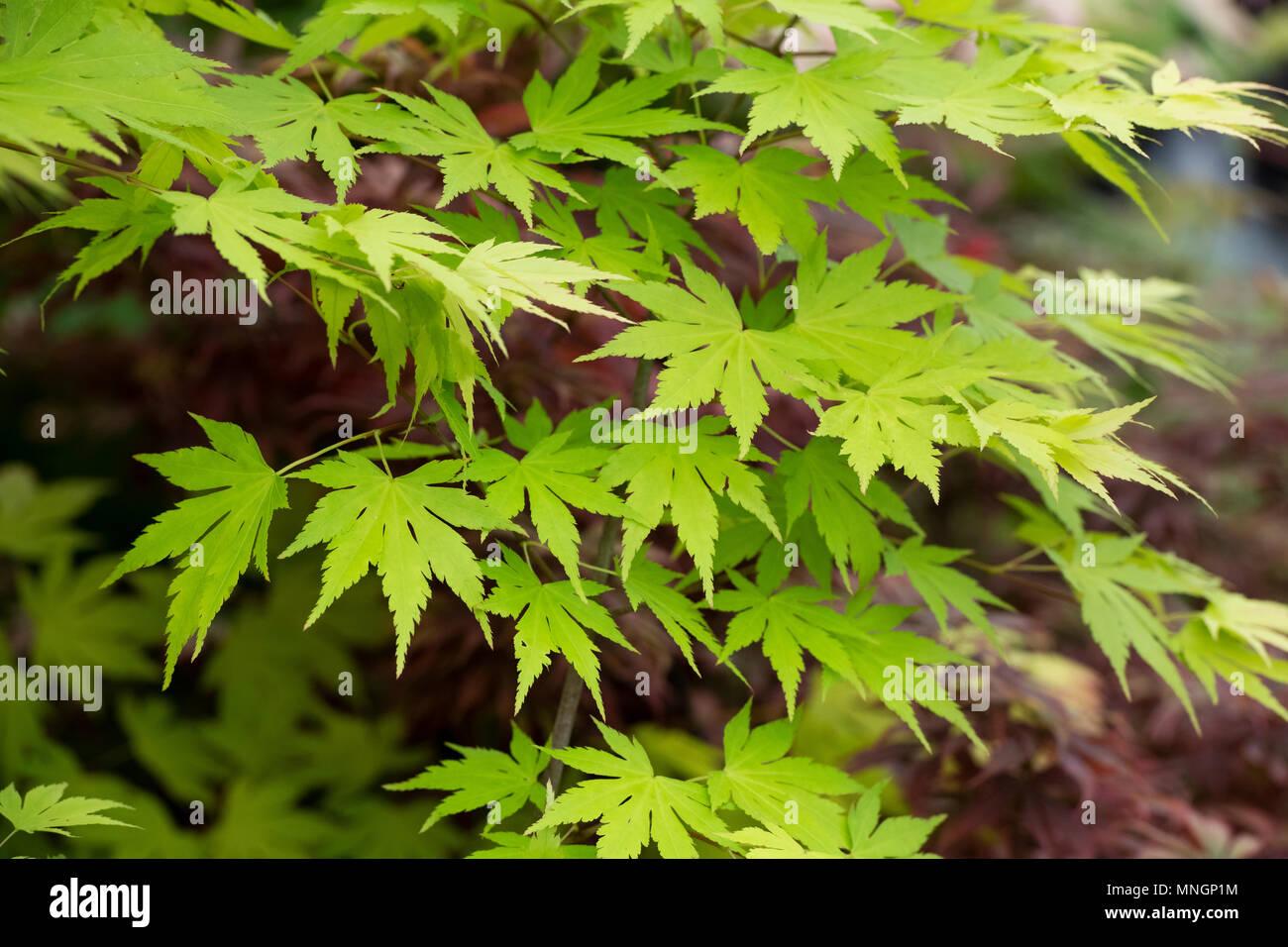 Medium Sized Deciduous Tree Stock Photos Medium Sized Deciduous