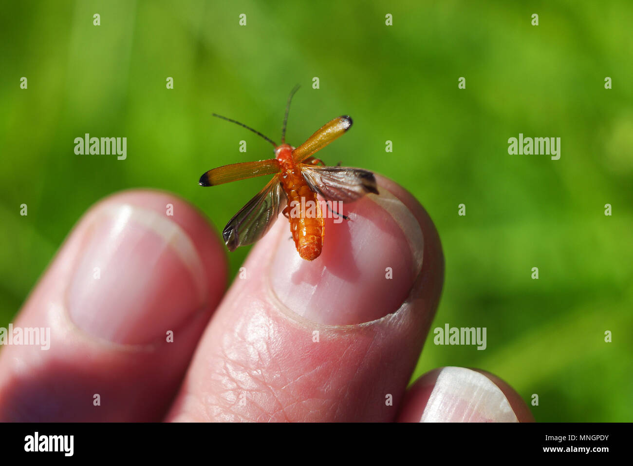 Bright orange soldier beetle sits on the human finger and spreads translucent wings to fly. On blurred background green summer meadow. - Stock Image