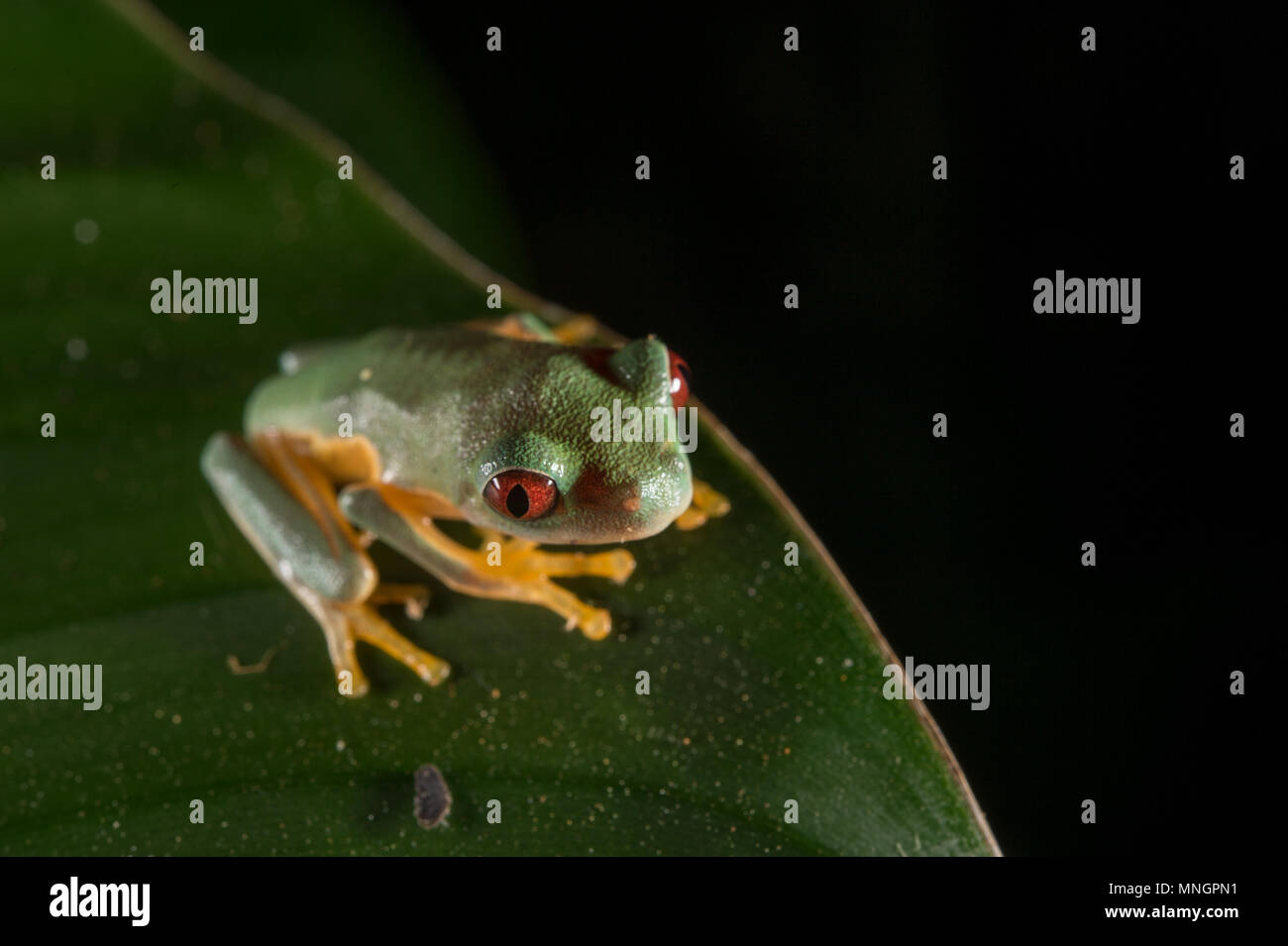 Orang-sided Gliding Leaf Frog, Agalychnis spurrelli, Hylidae, Manuel Antonio National Park, Costa Rica, Centroamerica - Stock Image