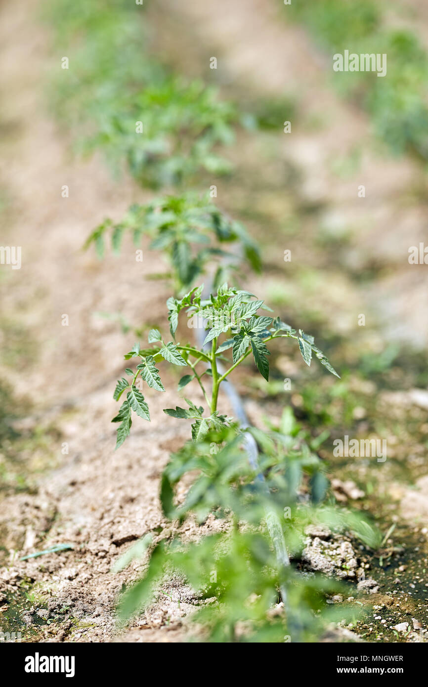 Young tomato plants in rows in a greenhouse with selective focus - Stock Image